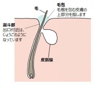 毛包上皮細胞と皮脂腺とは
